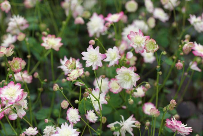 多弁花赤花台湾バイカカラマツ
