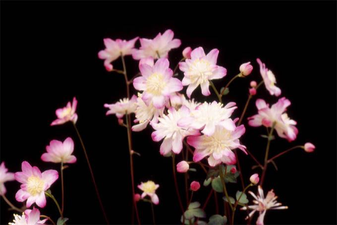 赤花台湾バイカカラマツ