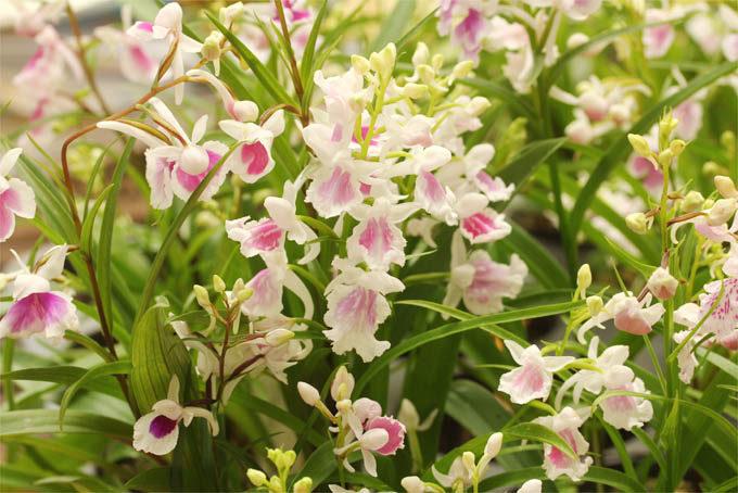ウチョウラン 桃花