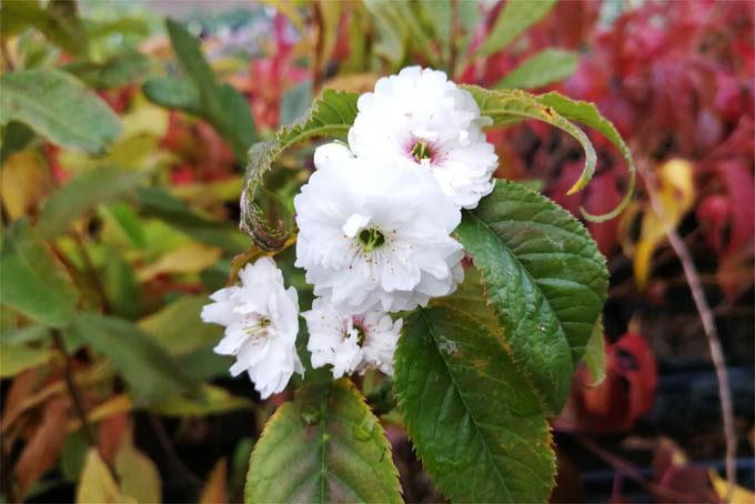 移り色十月桜
