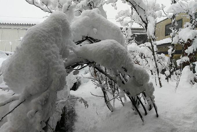 湿気のある雪はくっつきます。着雪で木が折れそうになっていました。