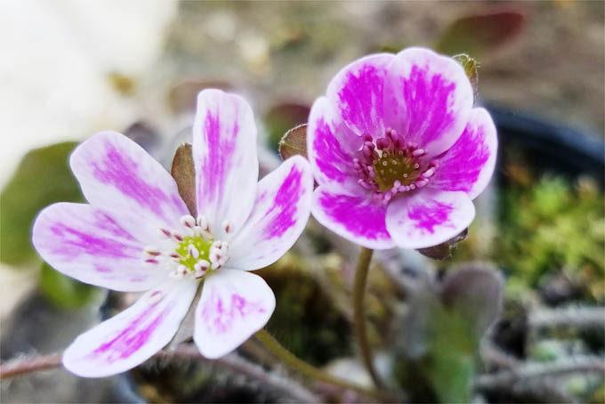 とてもきれいな花です。一応覆輪系にみえますね。