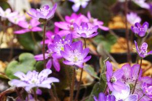 ただの紫といっても、やっぱり色々違いがあります。集めてみると淡い色もきれいですね。