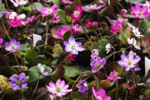 色や花型、雪割草には本当に色々なヴァリエーションがあります。