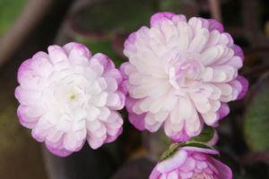 千重咲 紫