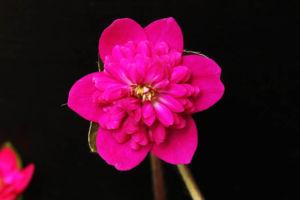 花型のよい濃赤の唐子咲。どうも、画像では実物の色がでません。特に赤。