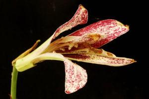 赤花斑咲きウバユリ