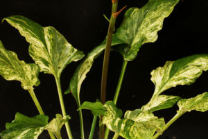 白散斑ウバユリ(花も赤)