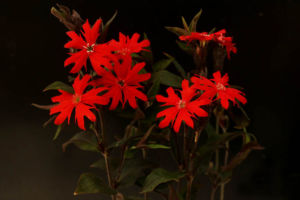 赤花マツモトセンノウ