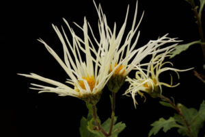 白花サガギク