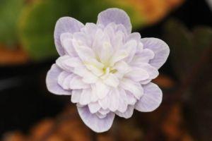 淡い網目の上品な花。