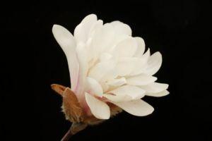 八重咲シデコブシ ロイヤルスター