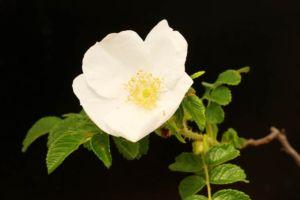 白花ハマナス