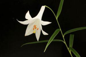 白花神領ユリ