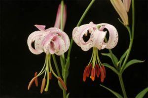 リリウム・ランコンゲンセ(Lilium lankongense)