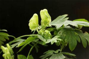 緑花トリカブト