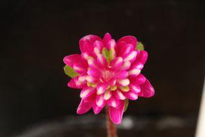 雪割草 実生新花
