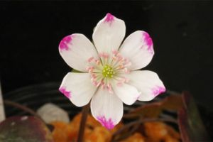 爪紅標準花