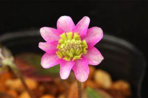 ピンク/緑三段咲