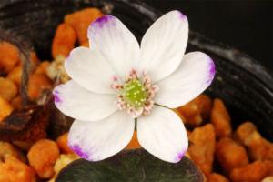 雪割草その5。標準花爪紫。