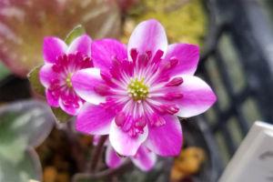 これも覆輪タイプです。かなり花が大きい二段咲。交配親として期待できます。