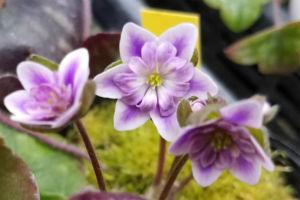 白覆輪系です。ぼうっとした覆輪で雰囲気のいい花。花型もよく整ってます。