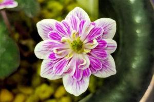 網目模様のきれいな花。これは実生新花ですね。花型も整っています。