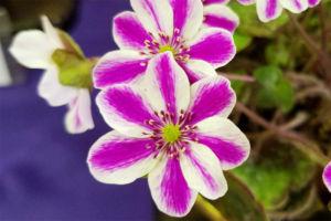 濃い網目模様の標準花。きれいです。