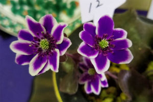 これも実生新花。かなり濃い色の覆輪で、花が堂々としていて高評価です。こういうのが一般には受けるようです。