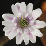 雪割草(ゆきわりそう)について その2 花の評価