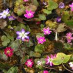 雪割草の育て方:秋~冬の管理