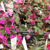 雪割草の育て方:春の管理