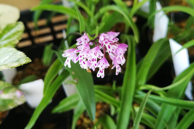 イワチドリの五月雨タイプ。イワチドリも豪華な花がだいぶ沢山出てきました。この花は特徴的でなかなか好きです。