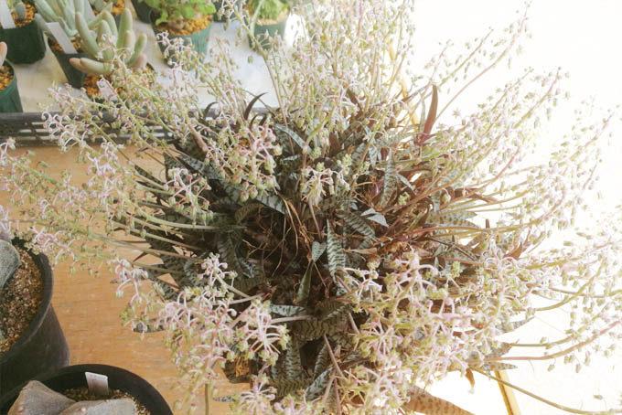 八ヶ岳山野草まつりで販売されていたレデボウリアの特大株。管理も楽だし、おすすめの球根植物です。