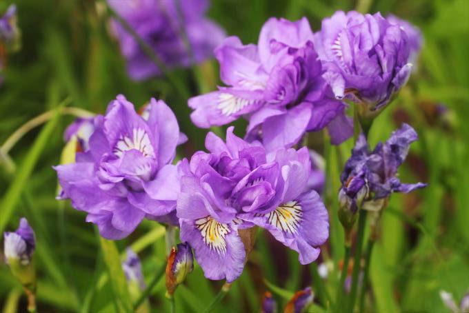 八重咲ヒメシャガの優良タイプ。途中で水を切らさないことと、虫をつけないようにするときれいに咲くようです。
