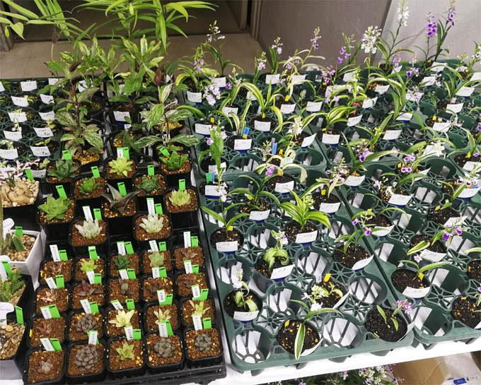 斑入でかつ花も美しい、ウチョウランの二芸品がたくさん。多肉植物もあります。若葉園さんです。