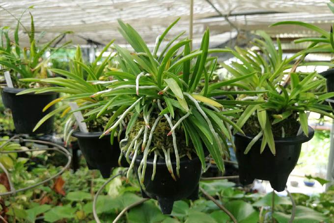 植え替え前のもの。水苔も劣化するので、毎年植え替えたほうが生育がよくなります。