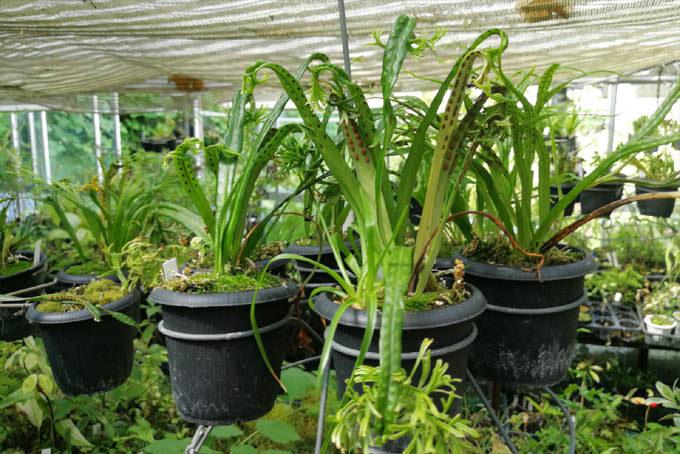 一部のシダもぶら下げています。これはノキシノブ。これもぶら下げて毎年植え替えると生育がいいようです。