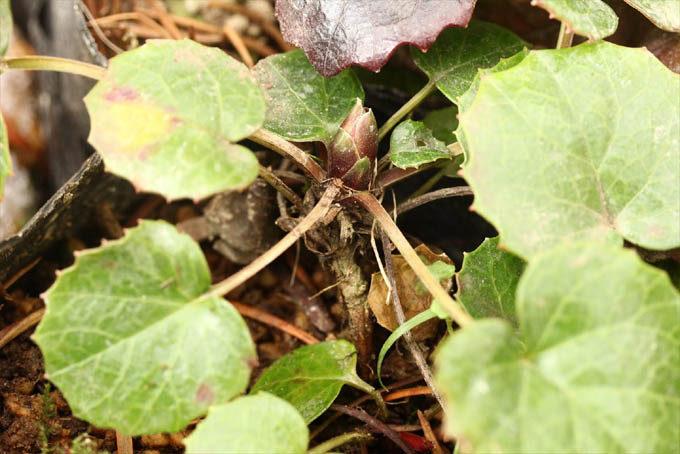 イワカガミの芽