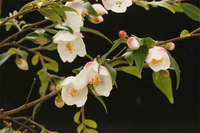 エリナ・カスケード。小ぶりでかわいらしい椿です。背は伸びますが柔らかい雰囲気。