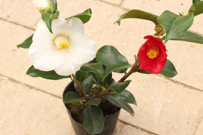 もとは白花。同じ木に真っ赤な花が咲きました。