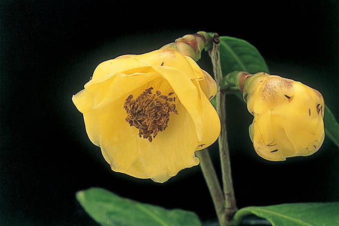 金花茶です。日本の椿にはない花色で、とても印象的です。日本椿との交配種は作られていますが、ここまではっきりした黄色のものはまだないと思います。