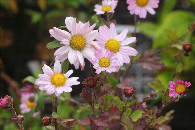 桃花リュウノウギク。普通は白なのが、うっすらピンクに色づきます。