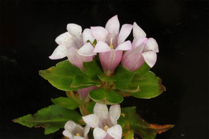桃花の朝熊リンドウ。これは珍しい。実生なので花色は多少違い、色の薄い白に近いものもありました。