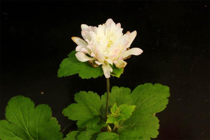 多弁花のシュウメイギク。これは株分け後の初花ですが、やはり弁数が多いので多弁タイプとして安定していると思います。