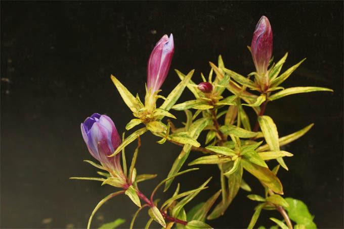 斑入のキリシマリンドウ。これは八重咲の実生で、半分以上は八重咲の花が咲きます。