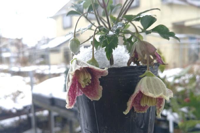 クレマチスの日枝(ひえ)という品種。常緑タイプで丈夫。そして花がすごくきれい。