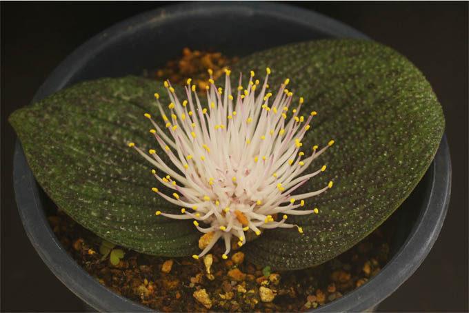 マッソニア。南アフリカの球根植物で、面白い花です。