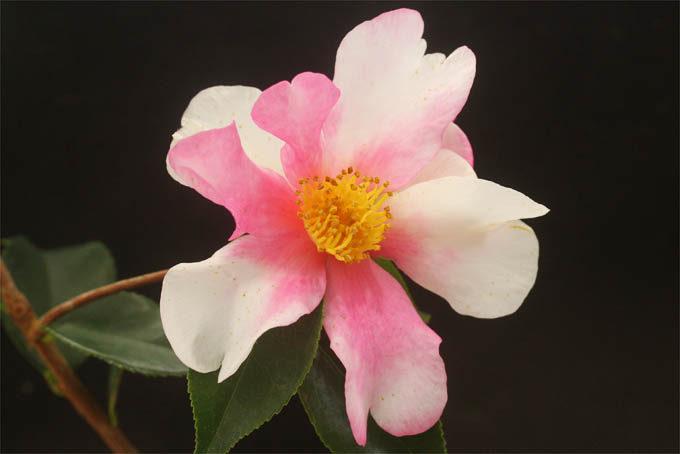 二色咲の美しい椿、夢。カンツバキと中国の原種の交配のようです。