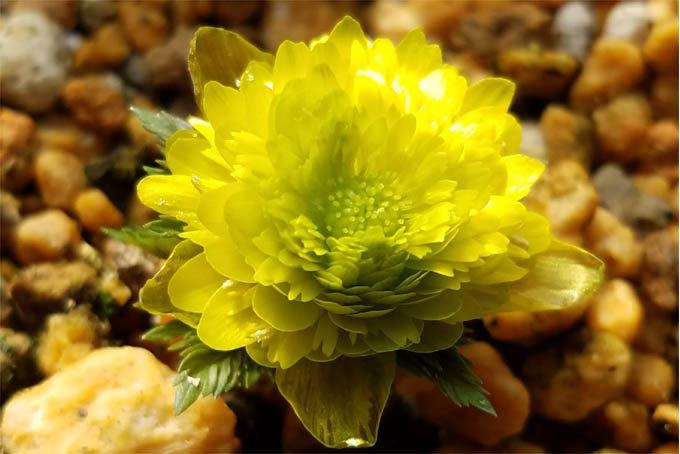フクジュソウ 実生多弁花